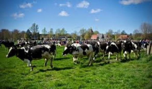 De blije koeien van Ter Coulster.