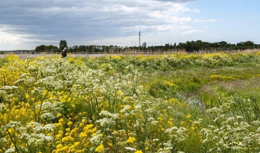 Deze foto is onlangs van de bloemrijke dijk gemaakt. Gehoopt wordt dat dit jaar een te vroege maaibeurt achterwege zal blijven.