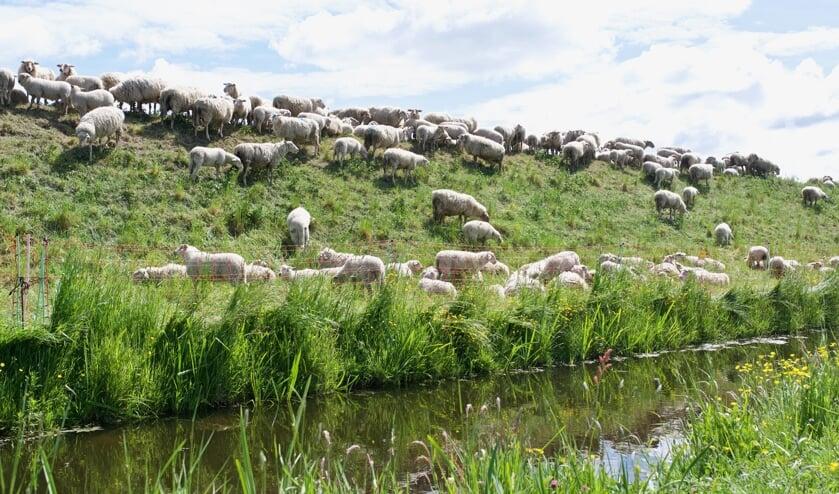 De schapen van Marijke Dirkson 'maaien' het gras op de geluidswal.