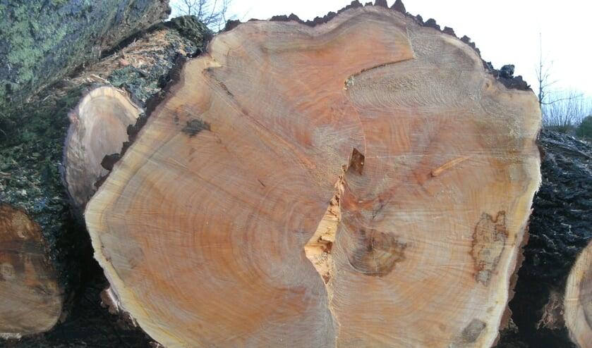 Aan de ringen te zien waren de bomen rond de zestig jaar oud.