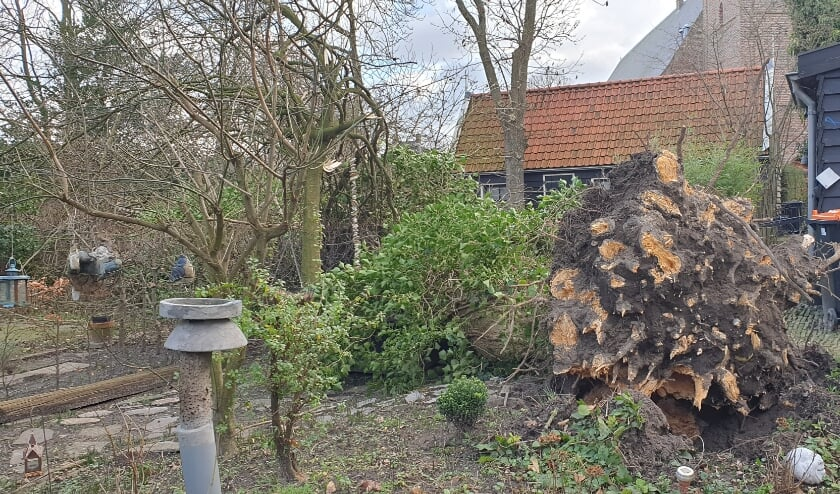 <p>De krachtige wind wist toch deze boom te ontwortelen.</p>