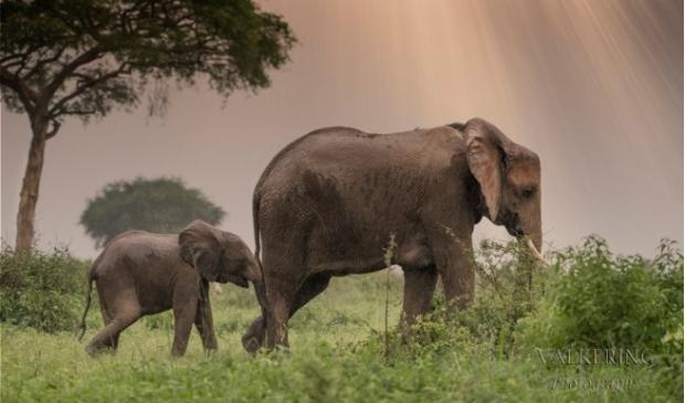 <p>Moeder olifant en jong, gefotografeerd in Oeganda.</p>
