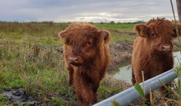 <p>Schotse Hooglanders kun je zomaar tegenkomen in de Dorregeester polder.</p>