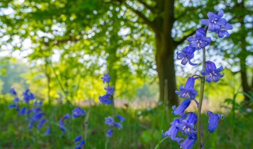 <p>Wilde hyacint</p>