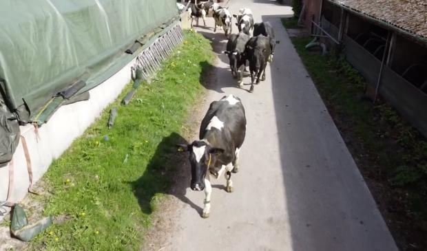 <p>De deur gaat ging open en rennend, huppelend en loeiend van plezier gingen de koeien weer de wei in.</p>