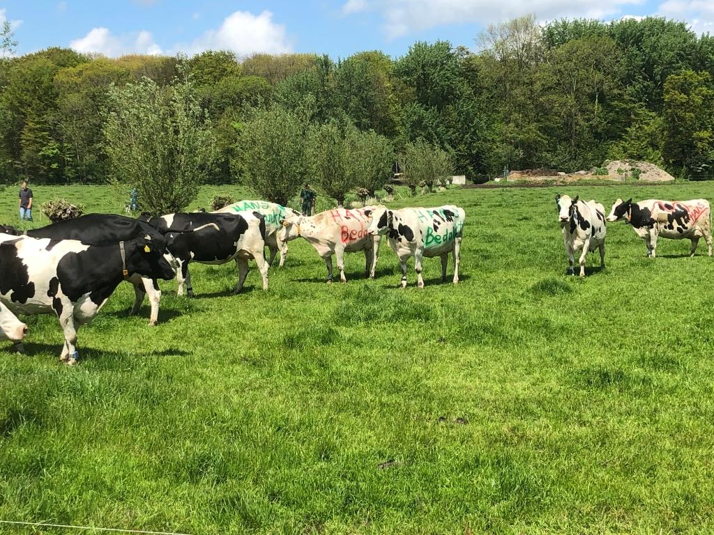 Koeien met opdruk! Foto: Dirk-Jan Kaan © Uitkijkpost Media B.v.