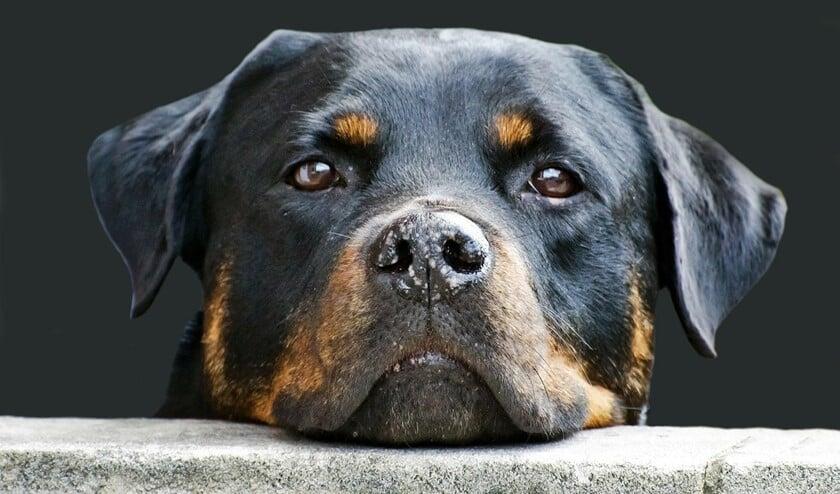 De ziekte van Weil is dodelijk voor honden, maar als het goed is, zijn deze ingeënt.