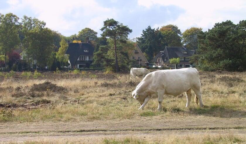 De Charolais runderen worden weer verplaatst.