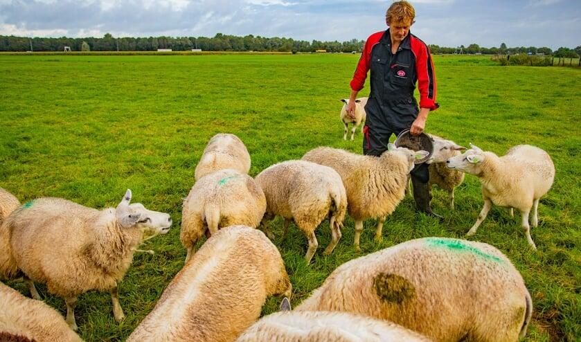 Bart Pronk tussen zijn schapen.