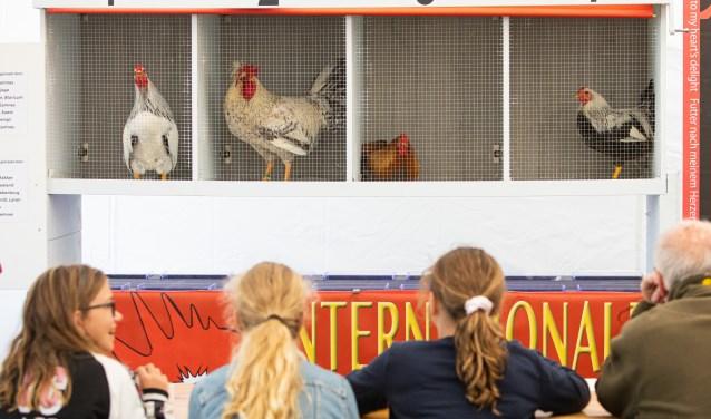 Tijdens de hanenkraaiwedstrijd.