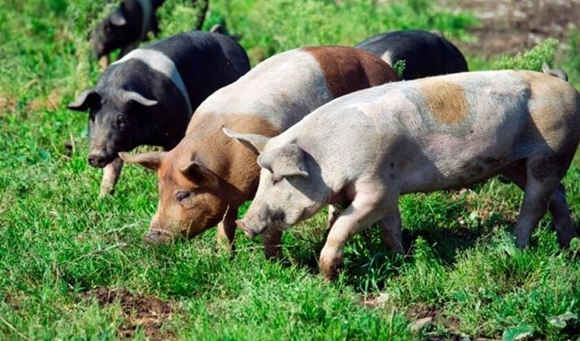 De varkens van Livar leven op kleinschalige boerderijen en kunnen lekker buiten lopen.