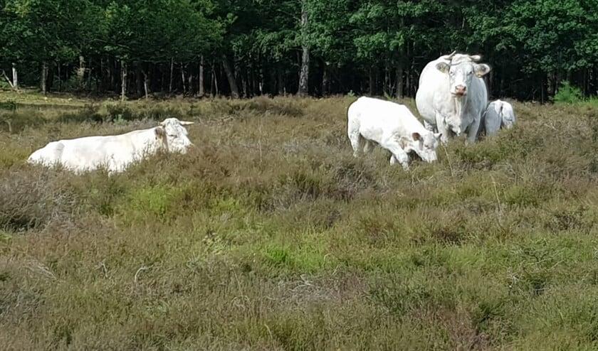De Charolais koeien zijn echte natuurbeheerders.