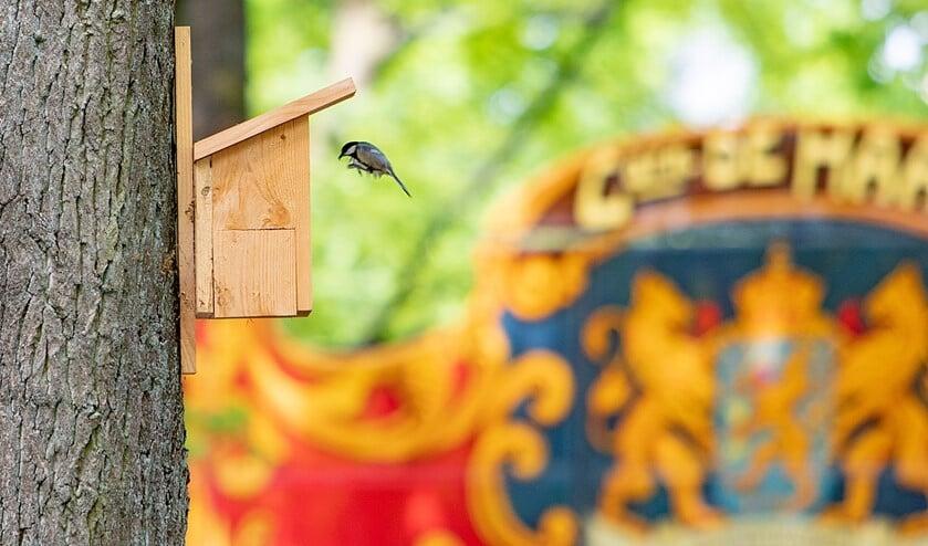 De eerste meesjes om de processierups te bestrijden nemen hun intrek in de opgehangen nestkastjes.