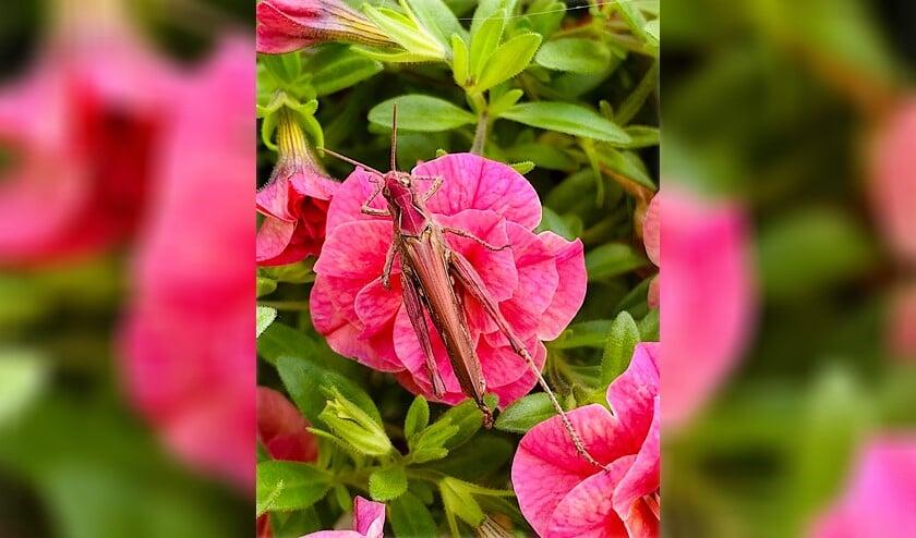 <p>De roze sprinkhaan die Kitty in haar tuin vond en op beeld vastlegde.</p>