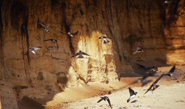 <p>De gierzwaluwen bij de Groeve Oostermeent.</p>