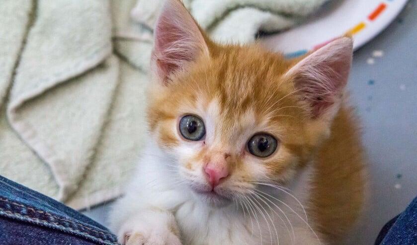 <p>Er zijn veel kittens in het asiel en daarom staan zij deze week in het zonnetje. (Foto: Dierenbescherming)</p>