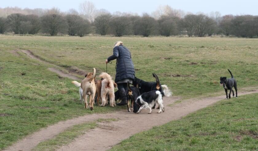 Vanaf volgend jaar zomer mogen er maximaal drie honden per begeleider mee de natuur in.