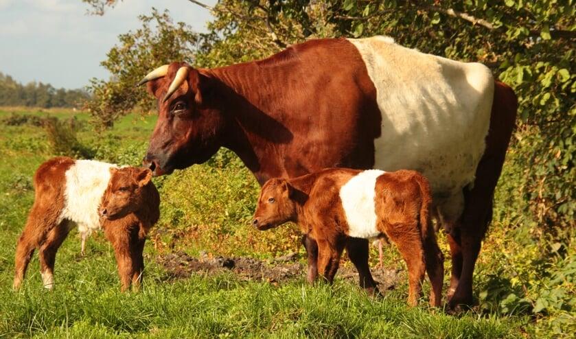 De lakenvelder is een runderras dat vooral herkenbaar is aan de witte band tussen de voor- en achterpoten om de borst en rug van een verder zwart of rood dier.