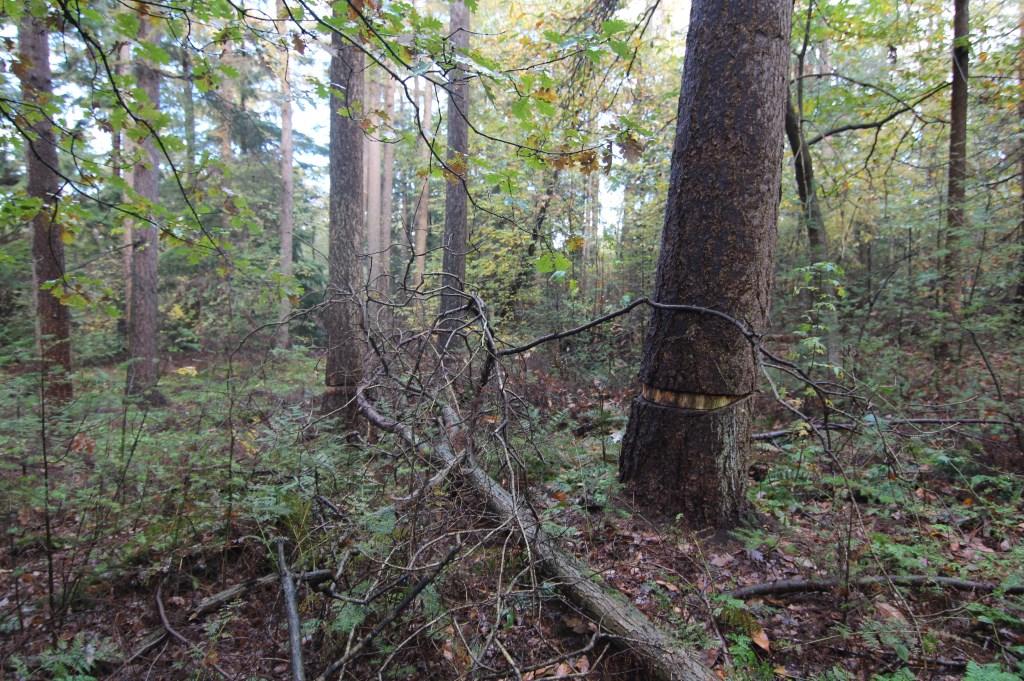 Sommige bomen worden geringd waardoor hij uiteindelijk afsterft.   © De Vierklank