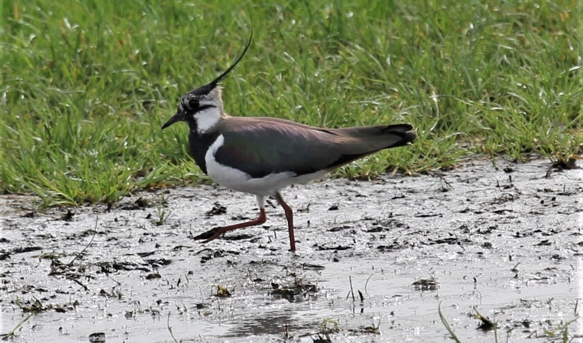 Weidevogels, zoals de kievit, nemen in aantal af.