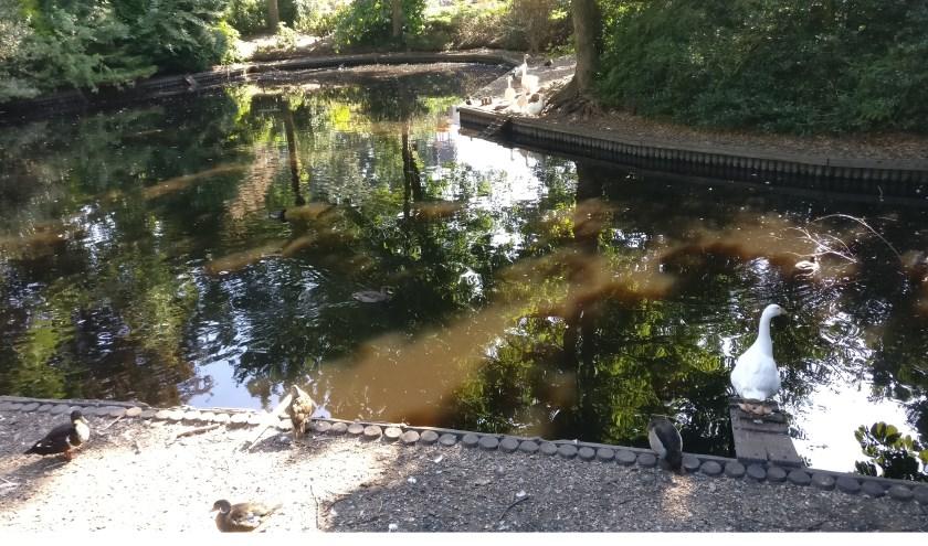 Het waterpeil in de vijver van de dierenweide zakt, maar levert vooralsnog nog voldoende mogelijkheden voor een bad.