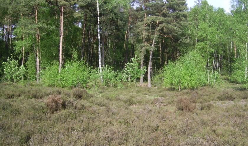 Ook in 2017 en jaren daarvoor werd de opslag in het heideveld in de Ridderoordse bossen verwijderd. [foto Henk van de Bunt]