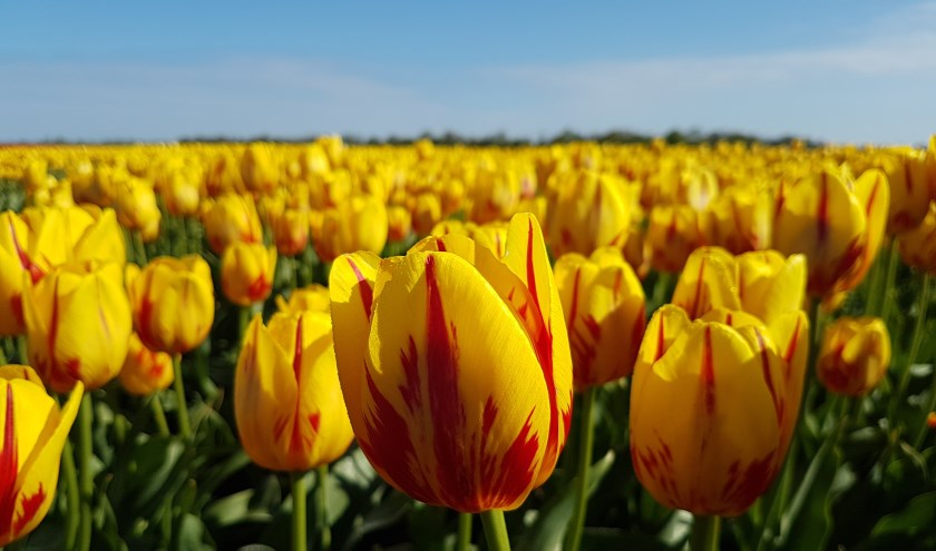 In mei zullen in het hele land deze speciale vrijdheidstulpen 'Freedom Flame' bloeien. (foto Maveridge.com)