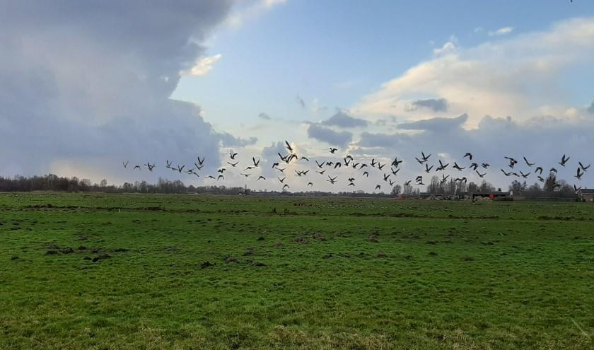 In haiku: Talloze ganzen Eten onze polder leeg Of is die van hun?