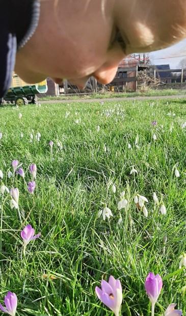 In haiku: Als bron van stuifmeel Bloeien sneeuwklok en krokus Het voorjaar vooruit