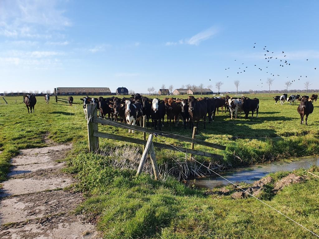 De koeien wachten al op de boer.  © De Vierklank