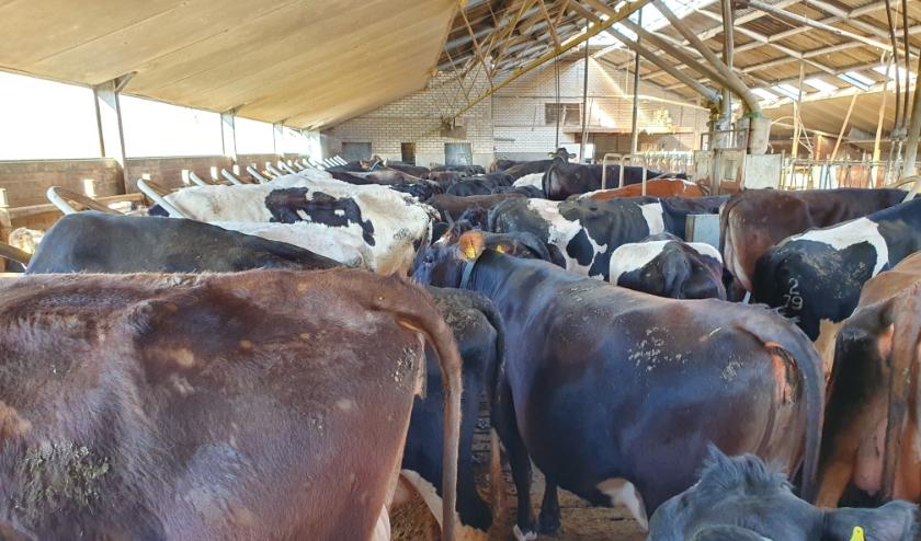 Ongeduldig wachten de koeien tot zij worden gemolken.