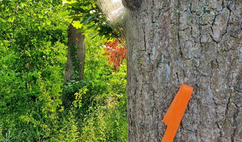 Met oranje lintjes aan de bomen wordt gewaarschuwd voor de eikenprocessierupskolonne.