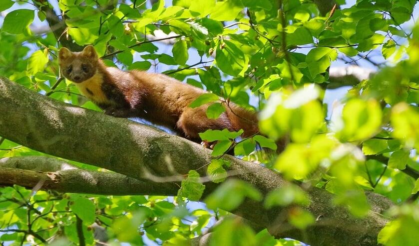 De boommarter in het Maartensdijkse bos.
