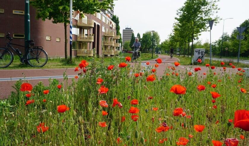 Bewoners van het appartementencomplex De Vijverhof in De Bilt en ook de verkeersdeelnemers hebben een fraai uitzicht op de uitbundig bloeiende klaprozen. (foto Frans Poot)