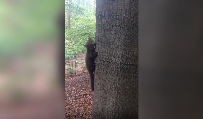 De boommarter aan een beukenstam in het Beukenbos aan de Eikensteeg.