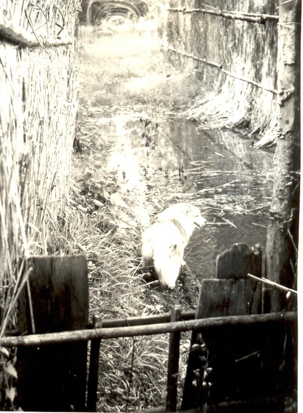 Een kooikershondje aan het werk. Foto:  © De Vierklank