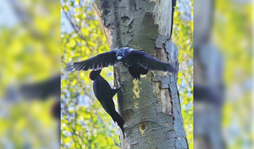 <p><em>Het vrouwtje verlaat daarop het nest.</em></p>