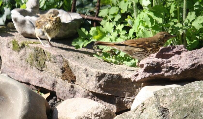 De lijsters voelen zich nog veilig in de tuin. (foto Rob Timmer)