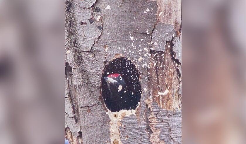 <p><em>Een zwarte specht maakt een nieuw ovaal nest; hij gooit hier de houtsnippers uit het nest (Ridderoordse bossen, april 2021).</em></p>