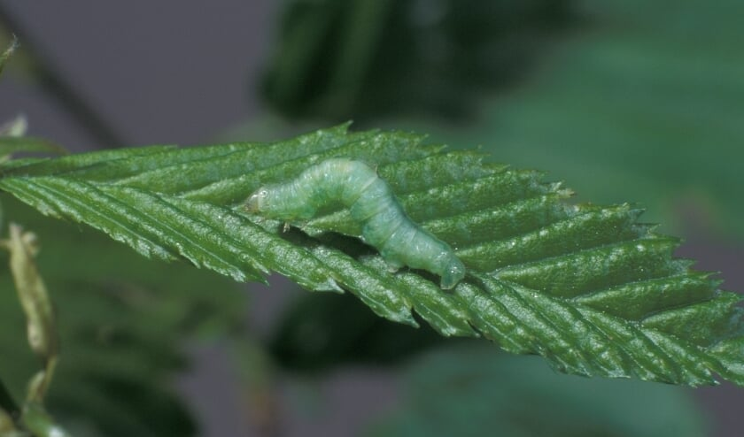 <p><em>Rups van kleine wintervlinder.66 (foto: Frits Bink)</em></p>