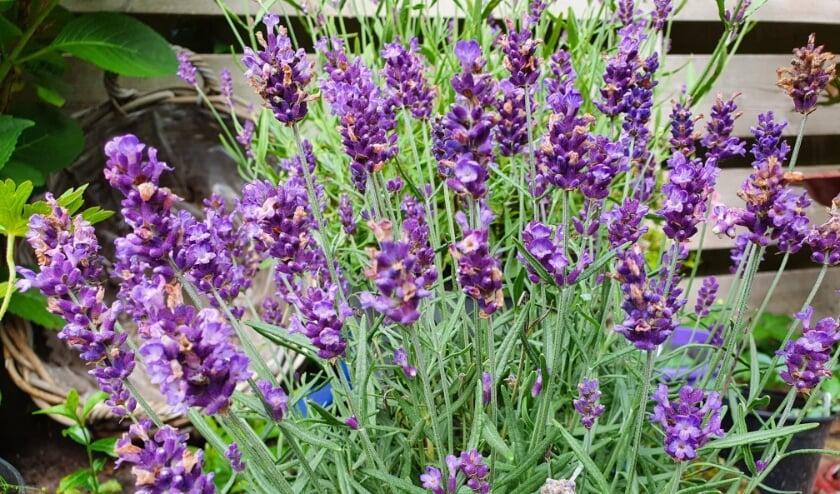 Lavendel is in trek bij bijen, hommels en vlinders; ze biedt deze onmisbare insecten een feestmaal, de hele zomer door.