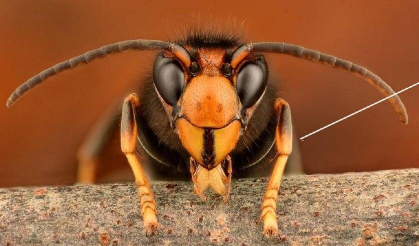 """<p><em>Aziatische hoornaar</em></p><p><em>(bron:&nbsp;</em><a href=""""http://www.kad.nl/""""><em>www.kad.nl</em></a><em>)</em></p>"""