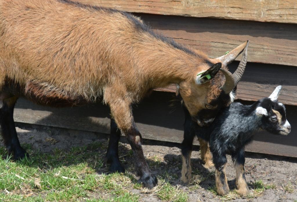 Een pasgeboren geitje Hanneke Bloemendaal © De Veluwe Koerier