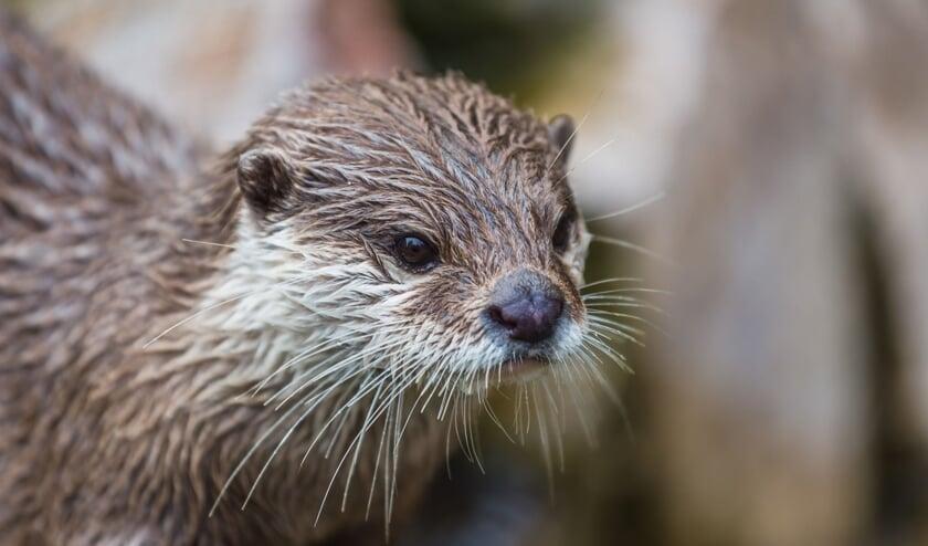 • Een jonge otter.