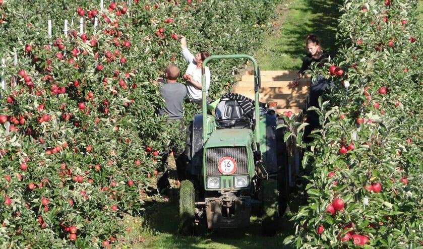 • Vooral bij de jaarlijkse fruitpluk zijn veel seizoensarbeiders nodig.