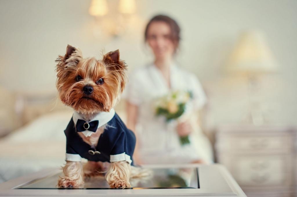 Terrier dressed as a groom in the bedroom of the bride. Foto:  © Alblasserwaard