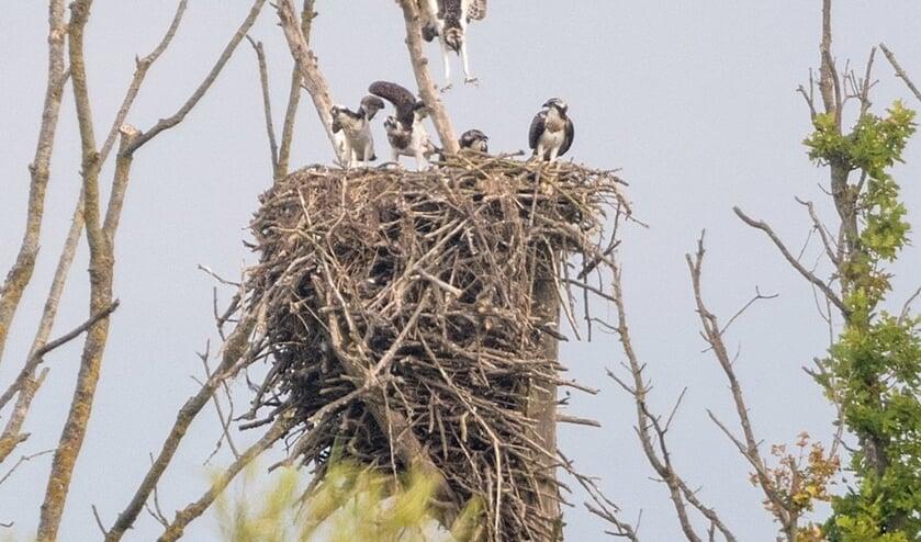 • Visarendfamilie in de Noordwaard, een overloopgebied van de Biesbosch.