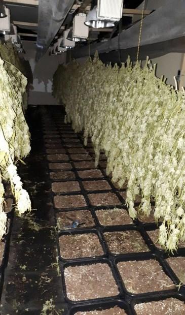 • De hennep in het bedrijfspand hing al te drogen.