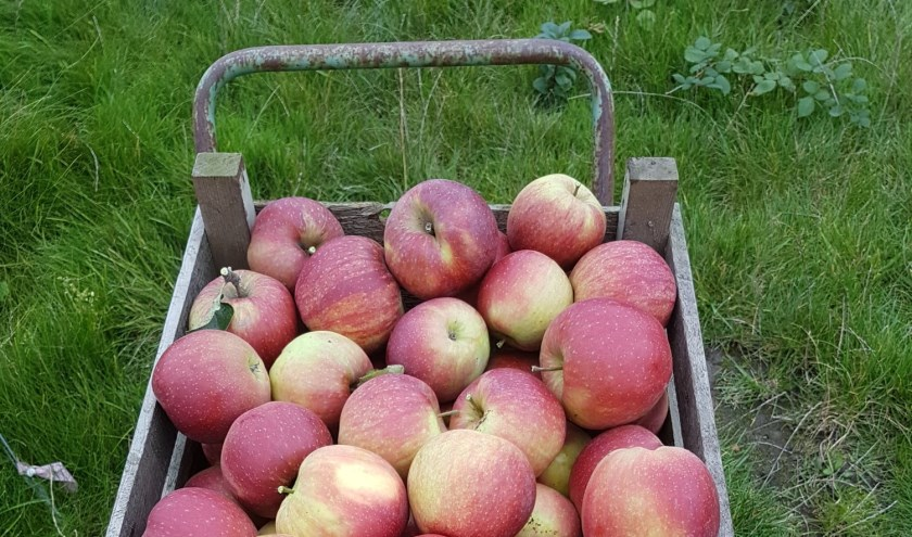 • Mooie rode appels zijn nog te vinden achterin de boomgaard.