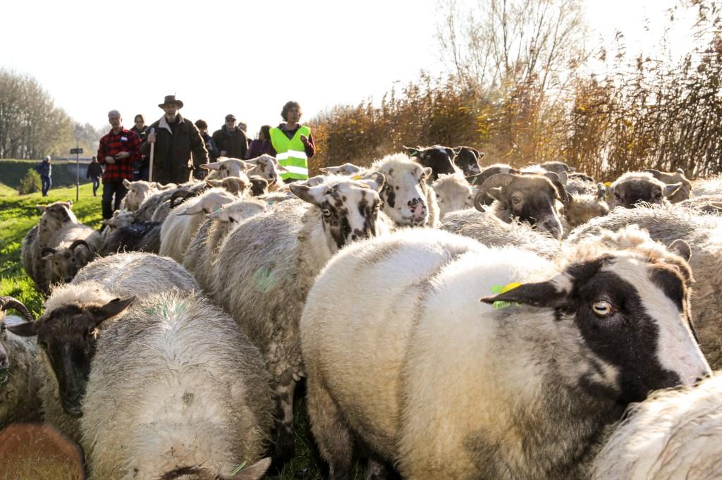 • De kudde langs de Smoutjesvliet, op weg naar Ottoland. Foto: Rick den Besten  © Alblasserwaard